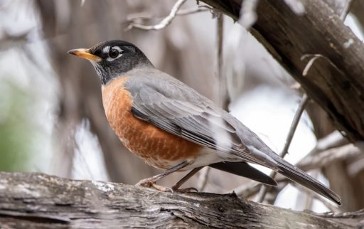 Aggressive bird behavior _ Robin