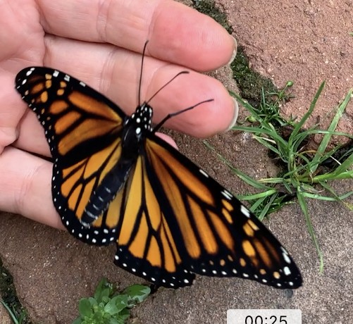 Beautiful female Monarch courtesy angry robins