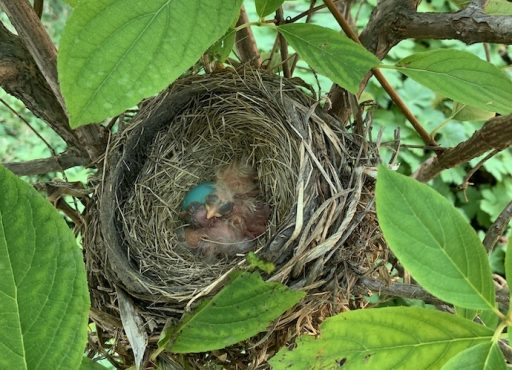 Nestlings and egg american robin