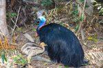 Who is the toughest bird? Cassowary