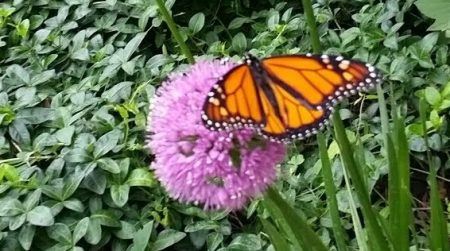 Monarch butterfly on allium